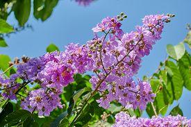 purple flowers of Queens Crape Myrtle