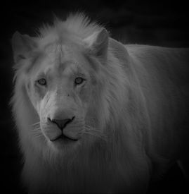 Male White Lion Is A Rare Color Mutation Of The Lion. When The First Pride Of White Lions Was Reintr