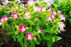 Wishbone Flower, Torenia Is Is Biennial Plants That Can Be Released Throughout The Year