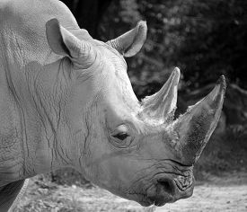 The White Rhinoceros Or Square-lipped Rhinoceros Is The Largest Extant Species Of Rhinoceros.  It Ha