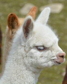 Alpaca (vicugna Pacos) Is A Domesticated Species Of South American Camelid. It Resembles A Small Lla