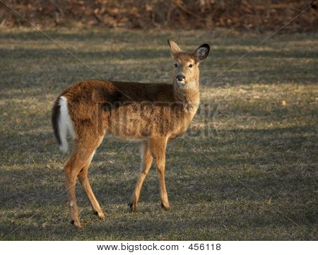 young white tail deer in field. poster