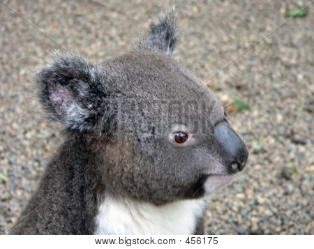 this koala is a cutie poster