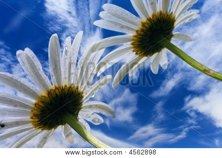 Camomile Flowers On Background Of Blue Sky