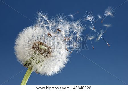 Dandelion with seeds blowing away in the wind across a clear blue sky