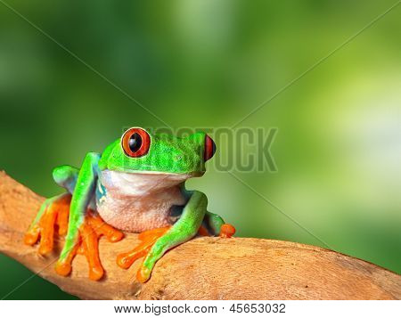 red eyed tree frog in tropical rain forest of Costa Rica. Natural purity and serenity, harmony in nature and a balanced ecosystem form basis of eco tourism conservation and protection of rainforest poster