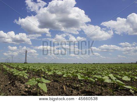 campo de haba de soja