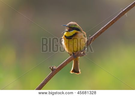 A Little Bee-Eater perched in a branch all fluffed up with mouth open poster