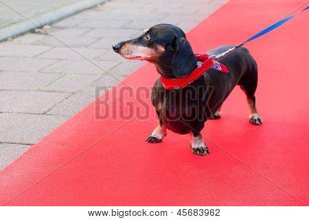 Dachshund outdoor at red carpet