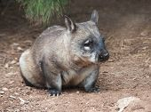 native australian Wombat sitting and looking out for something poster