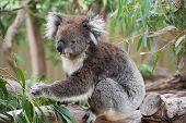 native Australian Koala bear eating eucalyptus leaves poster