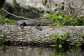 Wild Small American alligator on log sunning self on log. poster