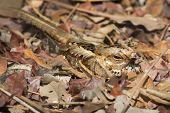 A Long-Tailed Nightjar hidden very well in fallen leaves poster