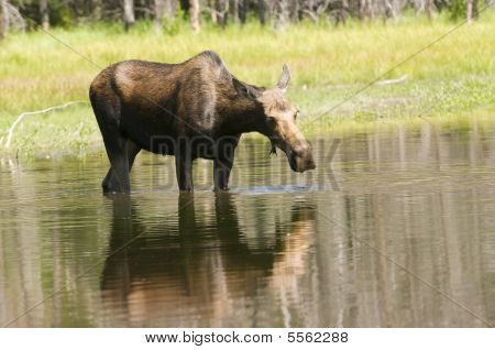 Cow Moose Feeding In Pond