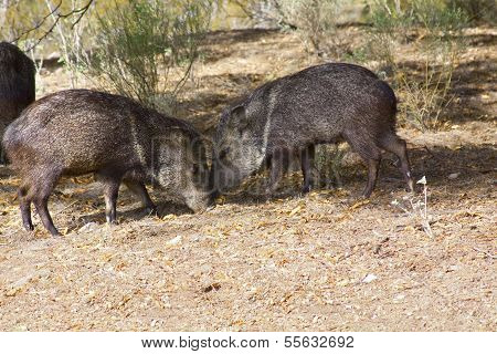 Two wild Javelinas pigs in desert foraging
