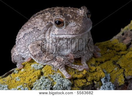 Gray Tree Frog On Branch