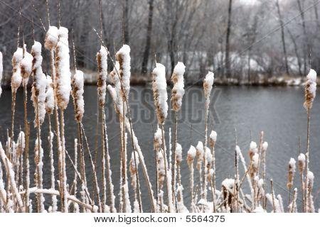 Catails u jezera