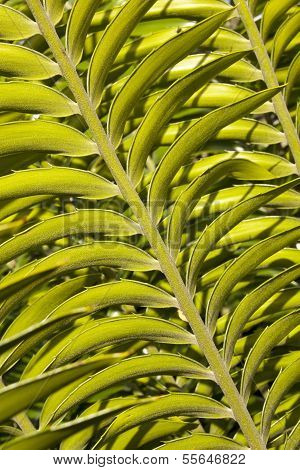 Close Up View Of Leaf On Cycad Plant