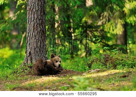 Brown Bear Cub Lying In Forest