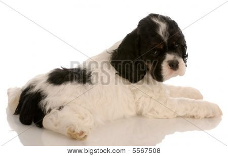 tricolor american cocker spaniel puppy with reflection on white background - six weeks old poster