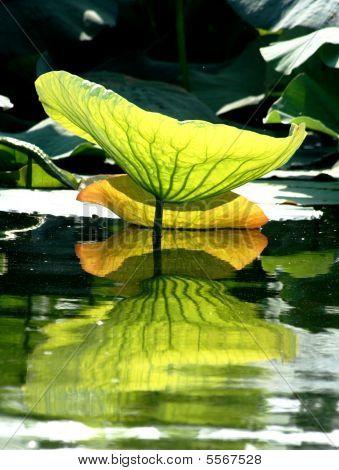 Lotus Leaf Reflection