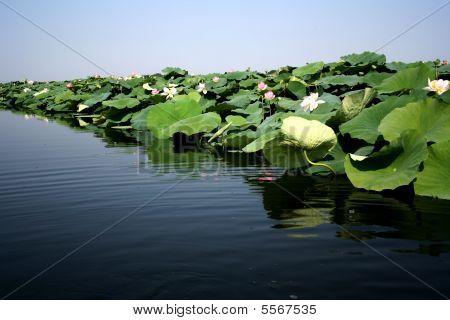 Lotus Flowers In Lake