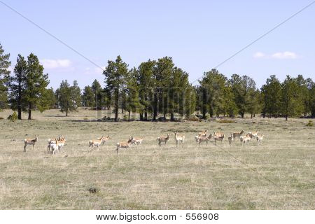 Antelope In Northern Colorado