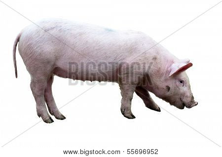Pig (sus scrofa) isolated on white