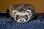 Sleepy sable ferret (Mustela putorius furo) looking at camera top view poster