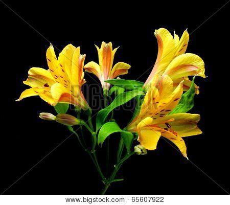yellow inka's lily
