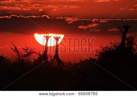 Giraffe Sunset - Wildlife Background from Africa - Golden Pairs
