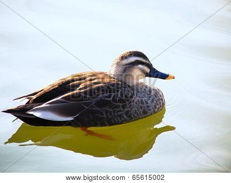Beautiful spot-billed duck male on the blue lake