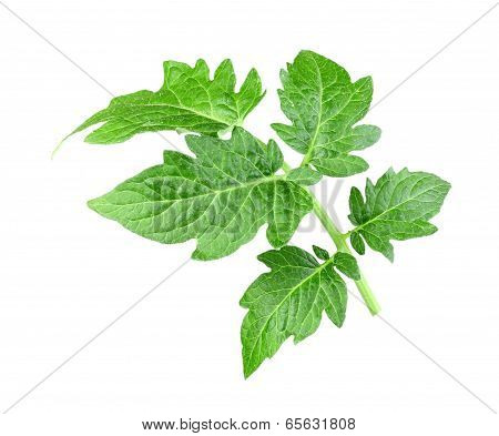Single A Green Leaf Of Tomato