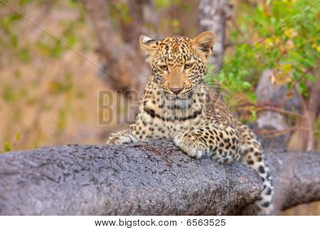 Leopard (Panthera pardus) lying on the tree in nature reserve in South Africa poster