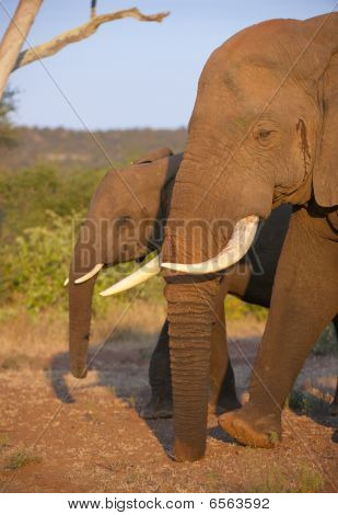 Large elephant bull with calf standing in the nature reserve in South Africa poster