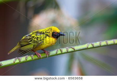 Village (Spotted-backed) Weaver (Ploceus cucullatus) sitting on the branch in South Africa poster