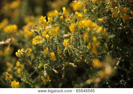 mediterranean yellow flowers
