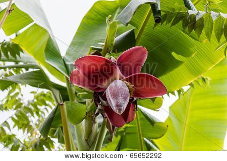 View From Below Of Growing Bananas Or Plantains