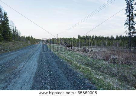 Yearling Elk At The Dirt Road