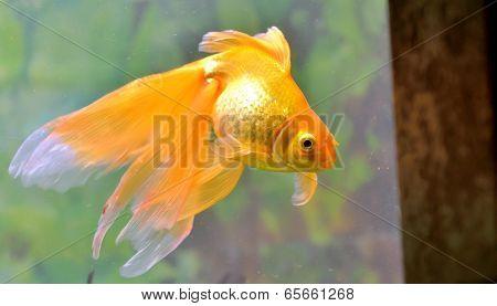 Gold fish (golden carp) isolated in aquarium poster