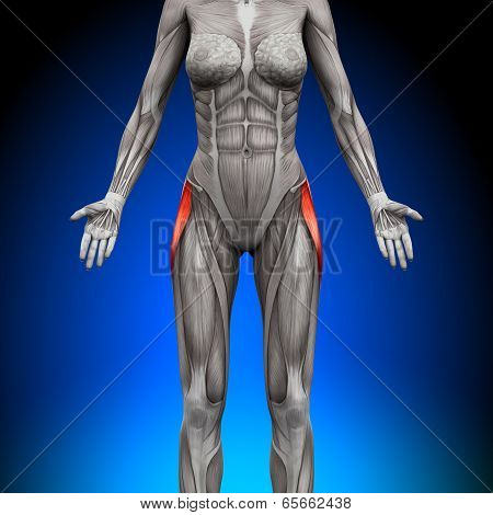 Tensor Fasciae Latea - Female Anatomy Muscles