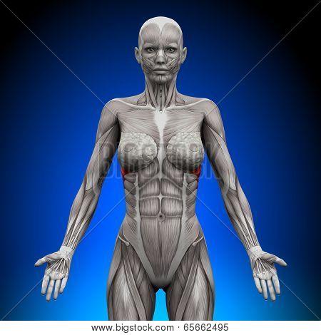 Serratus Anterior - Female Anatomy Muscles