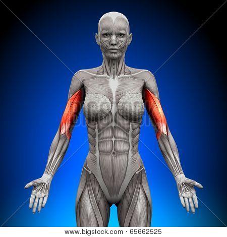 Biceps - Female Anatomy Muscles