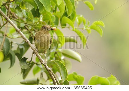 The Clay Colored Thrush is commonly called a Yiguirro and is the national bird of Costa Rica. poster