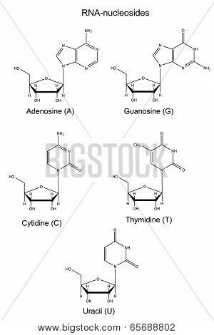 Structural Chemical Formulas Of  Rna Nucleosides