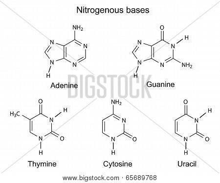 Chemical Structural Formulas Of Purine And Pyrimidine Nitrogenous Bases