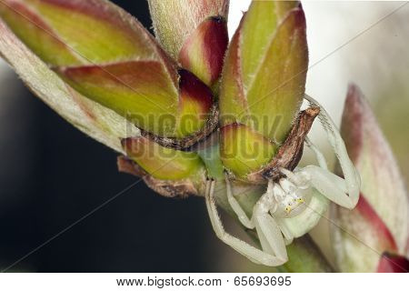 white crab spider (Thomisidae)