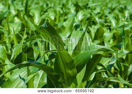 Green Agriculture Fields From Europe