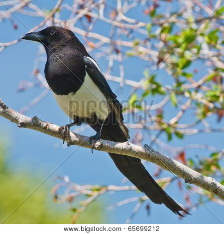 Magpie On A Tree Branch