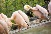 white pelican (Pelecanus onocrotalus) cleaning  feathers  with beaks poster